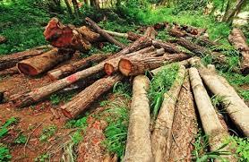 Tres gobernadores serán investigados por tala de árboles