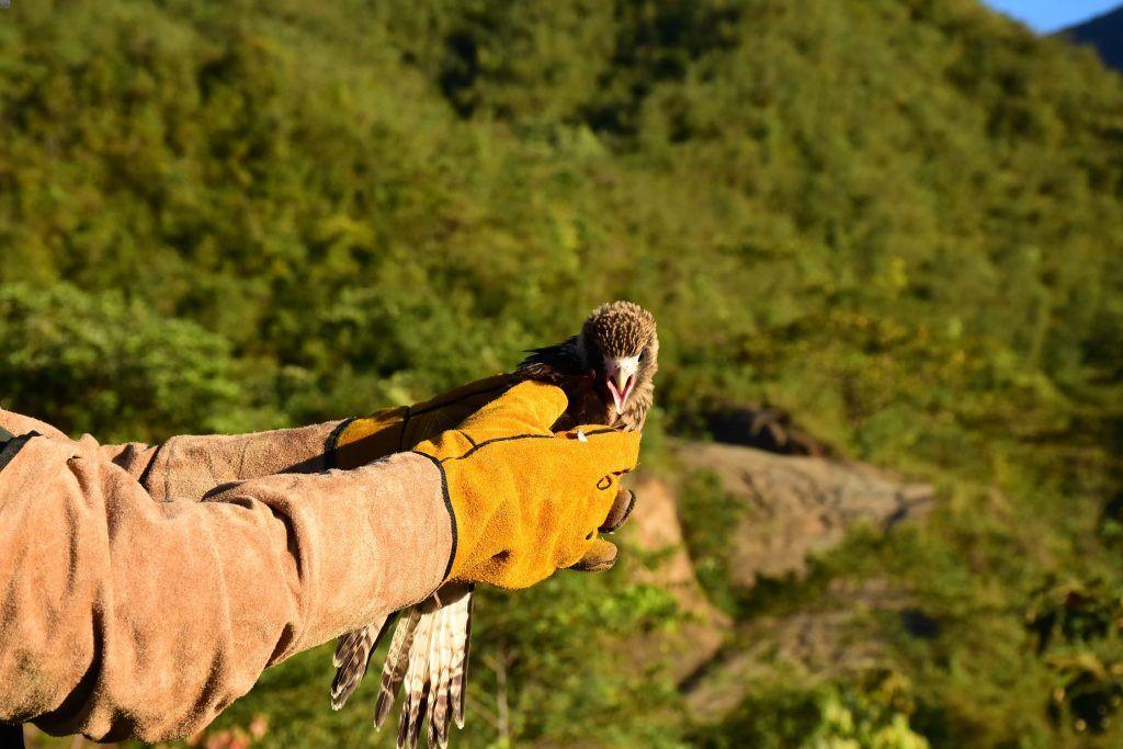 Los especímenes fueron liberados en el área amortiguadora del Parque Natural Regional Siberia Ceibas, en la localidad de Rivera.