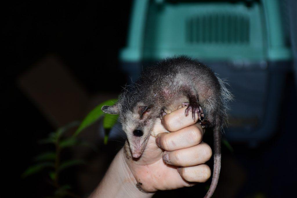 Los individuos de fauna silvestre ingresaron a la entidad gracias al apoyo interinstitucional de la Policía Ambiental.