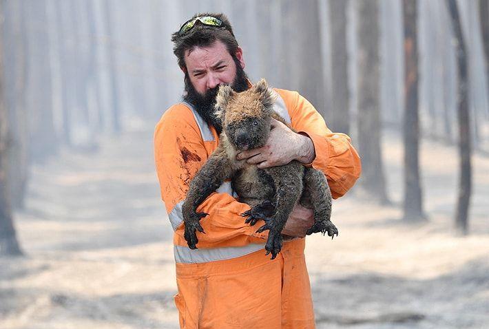 61.000 koalas fueron víctimas de incendios ocurridos en Australia