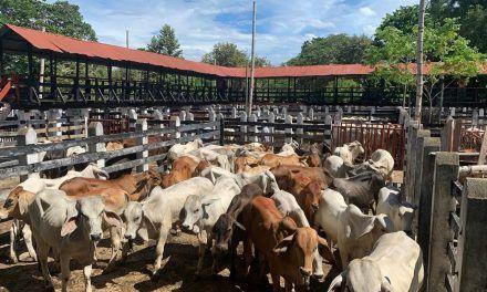 En 10 años se han robado 26 mil cabezas de ganado en el país