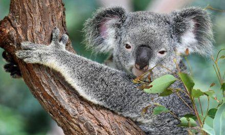 Unos 61.000 koalas fueron víctimas de incendios en Australia