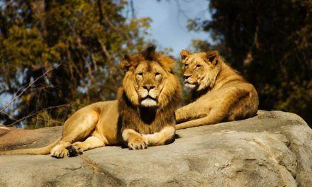 Cuatro leones del zoológico de Barcelona tuvieron covid-19
