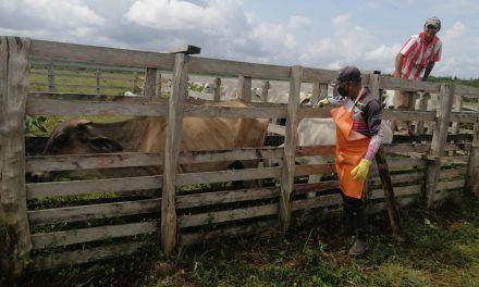 Vacunan al 66% del ganado colombiano contra la fiebre aftosa
