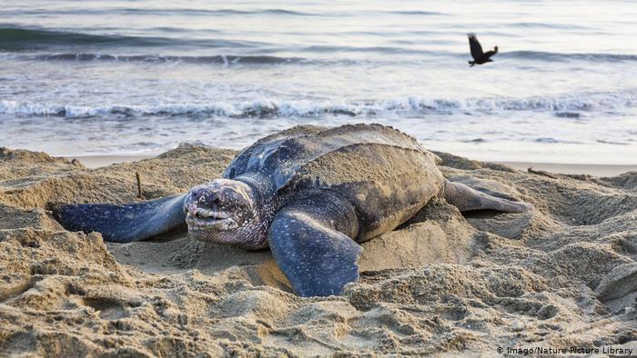 Hallan en Ecuador un nido de tortuga laúd, especie en riesgo de extinción