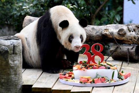 Murió el panda en cautividad más longevo del mundo
