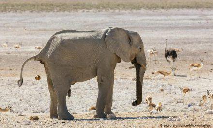 """Namibia pone en venta 170 elefantes """"de gran valor"""" debido a la sequía"""