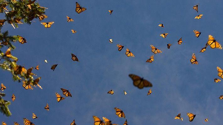 En EE. UU. mariposas monarcas no estarán lista de especies en peligro de extinción