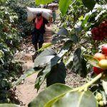 Expectativa en los cafeteros ante la llegada de la cosecha