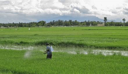 Arroceros huilenses preocupados por el precio del grano