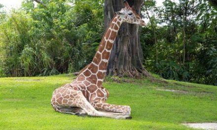 El zoológico de Miami aplica la eutanasia a una jirafa que no podía caminar