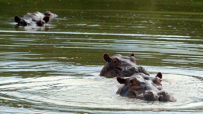 La invasión de los hipopótamos: Colombia se está quedando sin tiempo para acabar con el legado más salvaje de Pablo Escobar