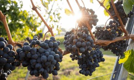 Huila es el segundo productor de uva en Colombia