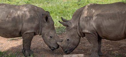 Rinocerontes huérfanos hallan refugio en Sudáfrica