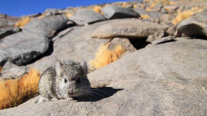 Hallan chinchillas de cola corta en Chile