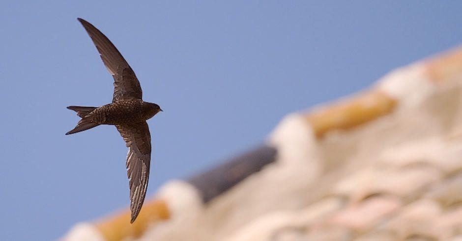 El vencejo común, ave del año 2021