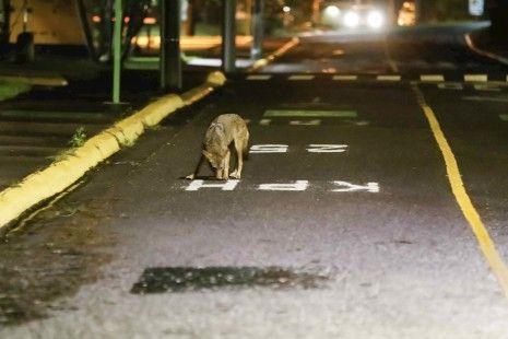 En Costa Rica, coyotes salen de su hábitat hacia zonas urbanas