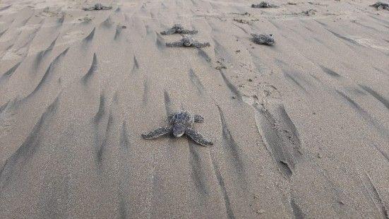 En Ecuador nacen las primeras tortugas laúd en cuatro décadas