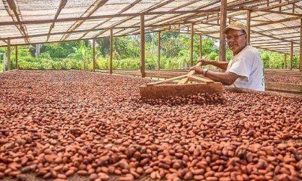 El cacao sigue creciendo en Colombia: Fedecacao