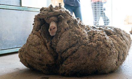 Baarack, la oveja australiana que llevaba cinco años sin ser esquilada