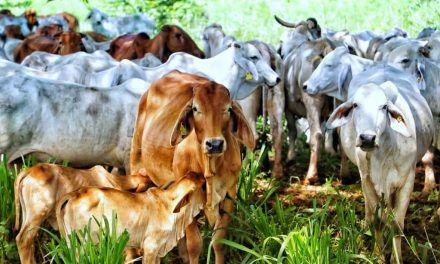Catar le abre sus puertas a la carne colombiana: Fedegán