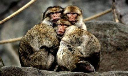 Hallan en Marruecos fósiles de dientes de macaco de hace 2,5 millones de años