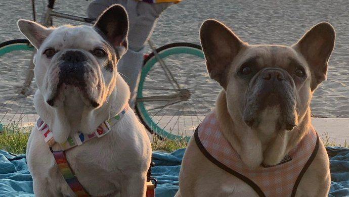 Lady Gaga recupera a sus dos perros robados