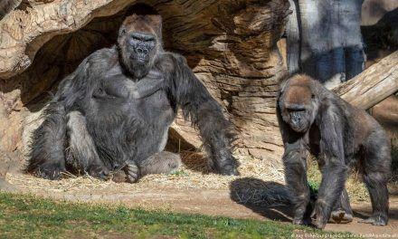 Gorilas que se habían contagiado por Coronavirus, ya se recuperaron