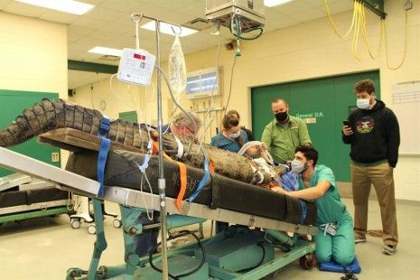 Operan a un cocodrilo en Florida para sacarle un zapato del estómago
