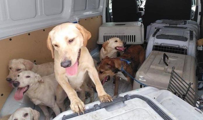 Rescataron a 166 perros en Puerto Rico para darlos en adopción en EE.UU