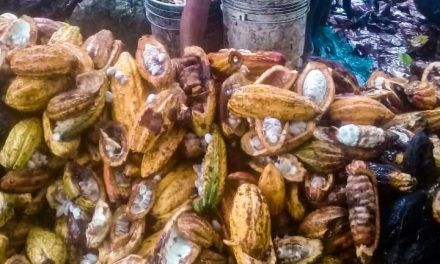 Cacaoteros de Rivera afectados por plaga