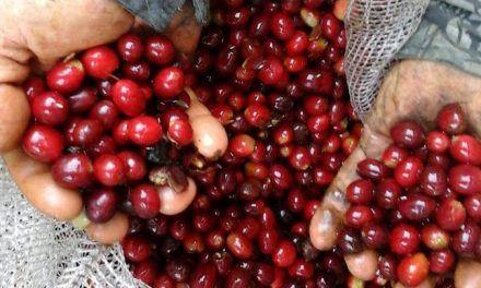 Huila lidera lista de producción de café en Ronda Internacional Taza de Excelencia
