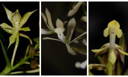 Descubren tres nuevas especies de orquídeas en Parques Nacionales de Colombia