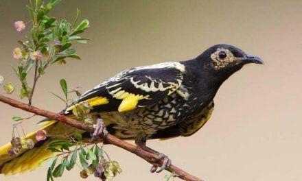 """Pájaro australiano """"está perdiendo su canto"""""""