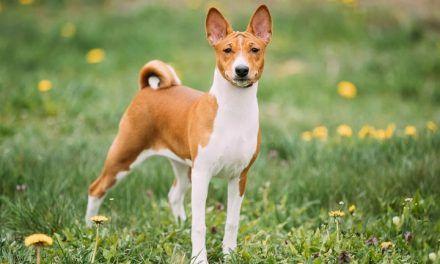 Basenji, la raza africana de perro que no ladra