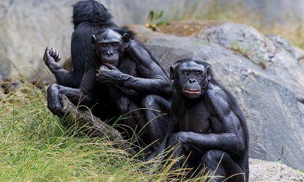 Nueve simios fueron inoculados con vacuna experimental contra el covid-19