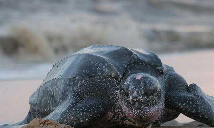 Nueve ejemplares de tortugas laúd nacieron en Ecuador