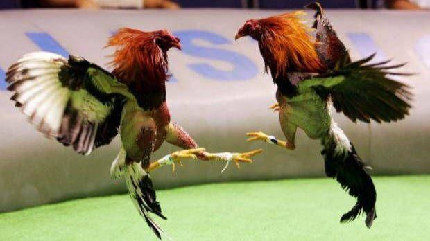 Un gallo de pelea mata a su dueño al intentar escapar