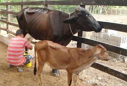 Fedegán solicitó investigar presunto daño a ganaderos colombianos por importación de lácteos
