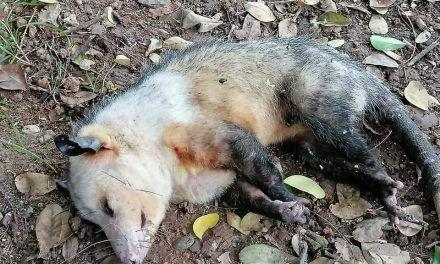 Comunidad denunció muerte de gatos y zarigüeyas en conjunto residencial