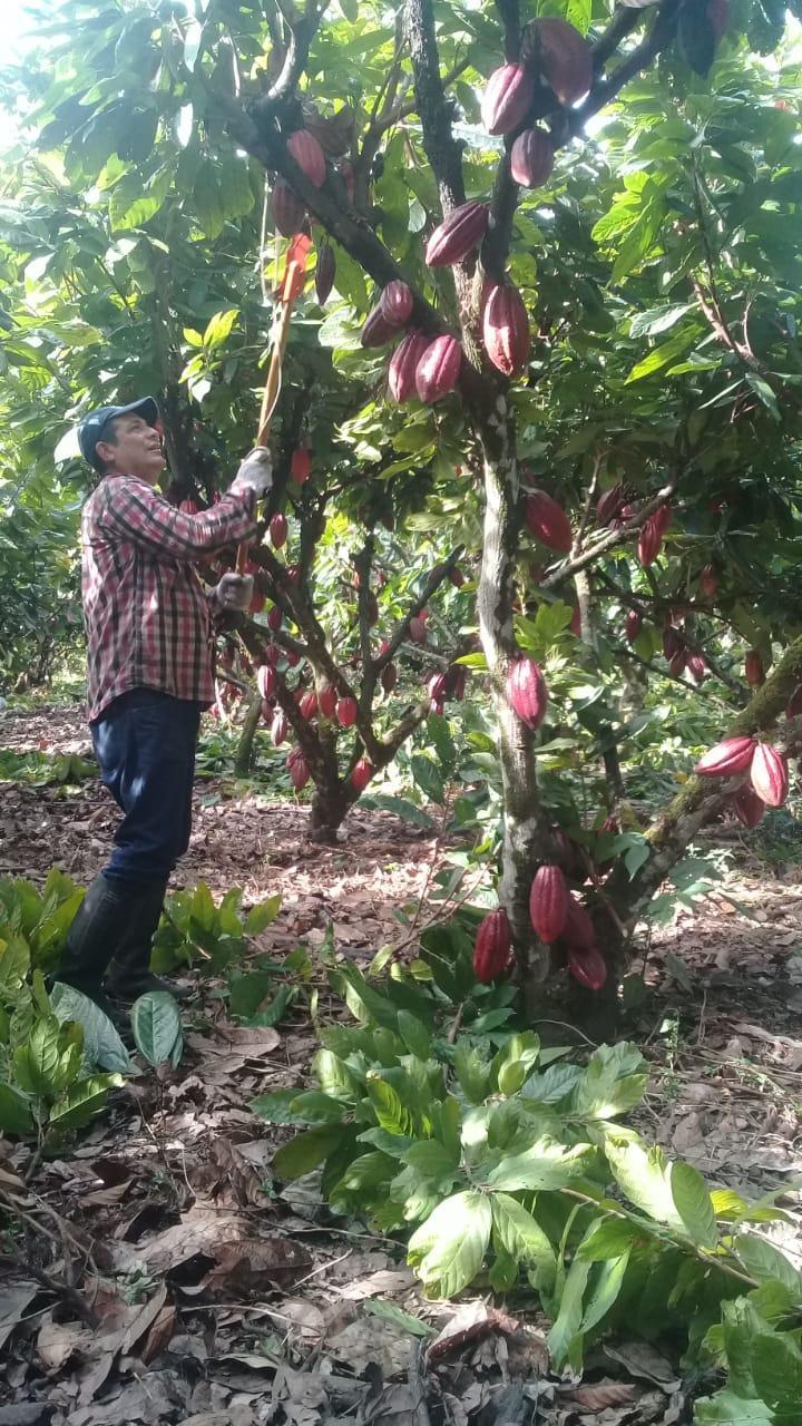 La producción de cacao en Colombia ha venido creciendo de manera importante en los últimos años.