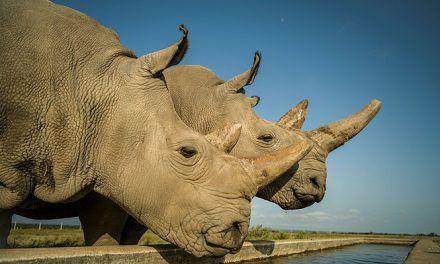 Consiguen embriones de rinoceronte blanco del norte para salvar a la especie de la extinción