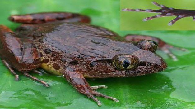 Alertan en Florida de una rana invasora