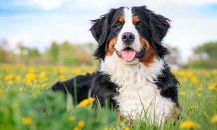 Las tres razas de perros con mayor riesgo de padecer cáncer