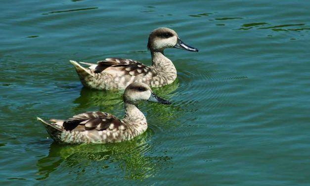 Dieciséis cercetas pardillas en cautividad vuelan a la Laguna de Fuente de Piedra
