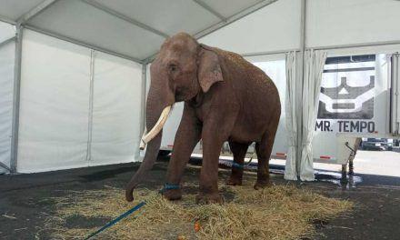Elefante asiático de 40 años fue rescatado en México