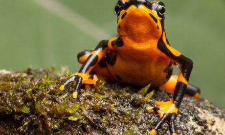 Hallan una nueva especie de rana arlequín en la selva entre Panamá y Colombia