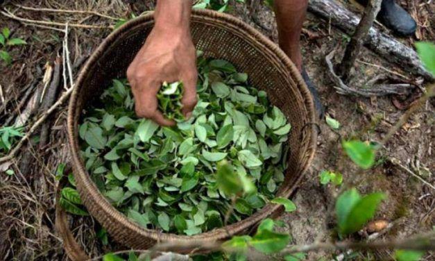 Contrapunteo: Se aprobó en primer debate proyecto para regular hoja de coca