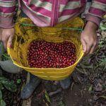 El Huila busca consolidarse como el principal productor de café a nivel nacional