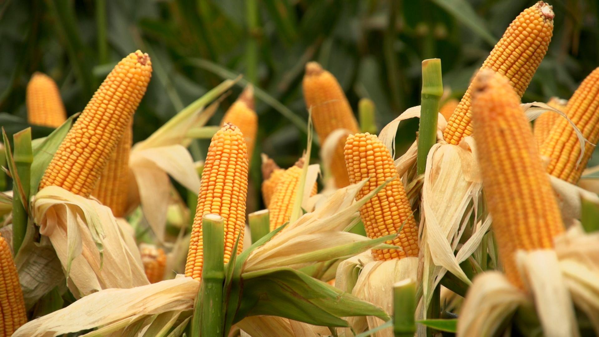 Semillas y biotecnología: verdades y necesidades